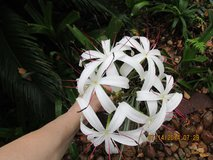 Beautiful White Spider Lily Plant Bulbs in Kingwood, Texas
